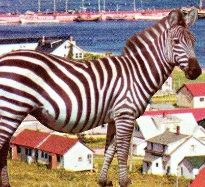 zebra_418x380